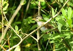 HolderSedge Warbler (juvenile)