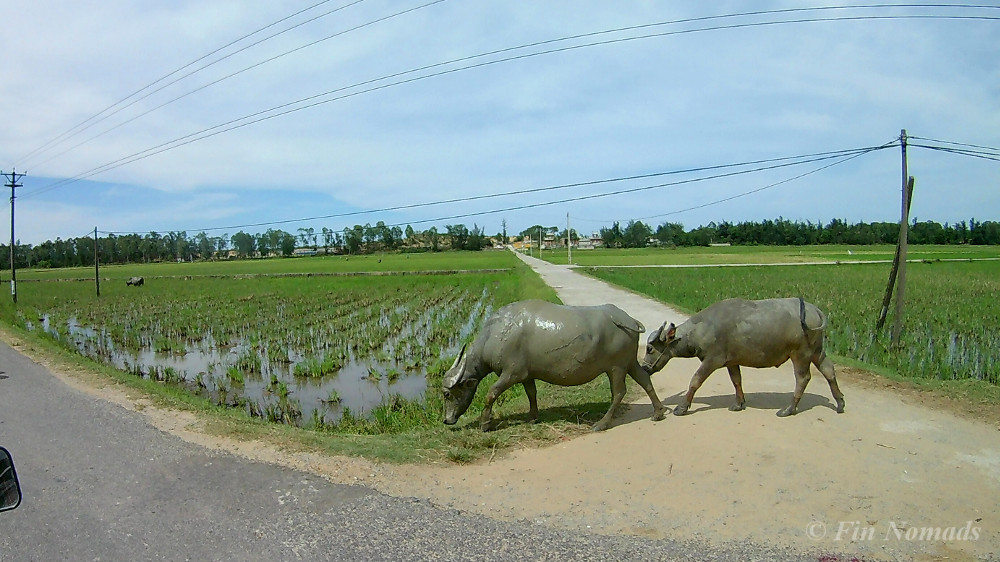 cows Vietnam coutryside
