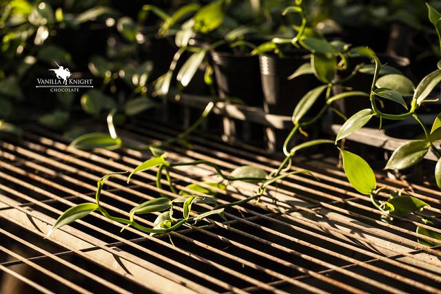 【香莢蘭苗哪裡買】售 香莢蘭種苗/香草蘭苗/台灣香草莢@香草騎士