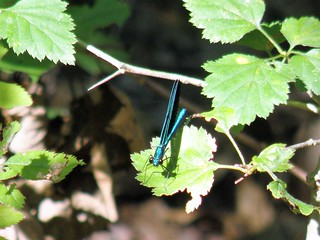 Ebony Jewelwing by Penny O'Connor