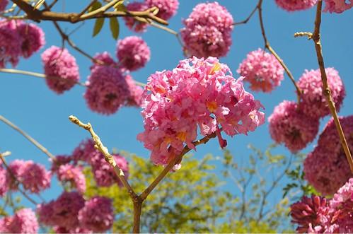 Flor de Ipê 🌸💞