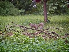 Victorious squirrel