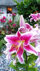 Lillies in the garden