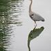 Heron & reflection