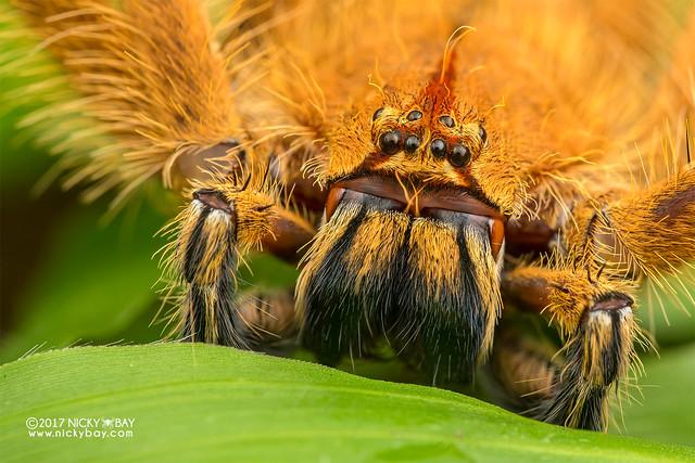 Huntsman spider (Heteropoda davidbowie) - DSC_7075