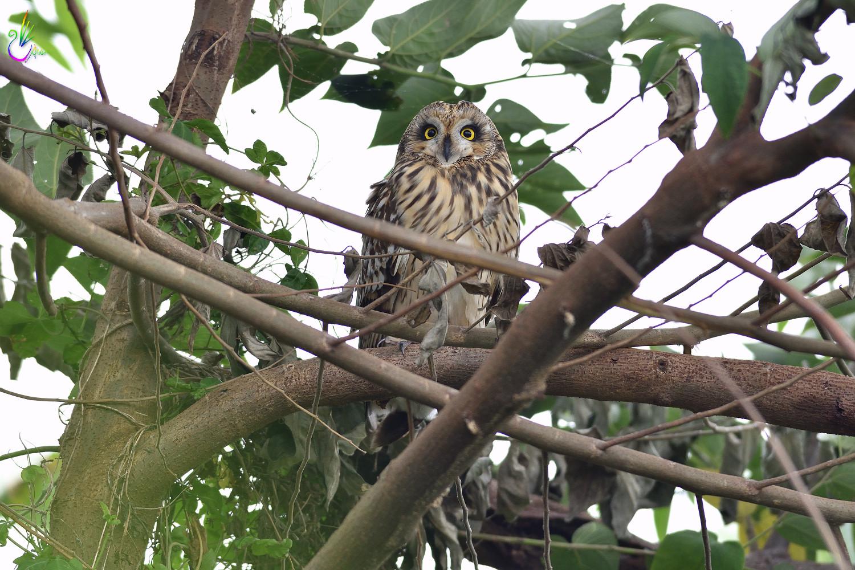 Short-eared_Owl_3521