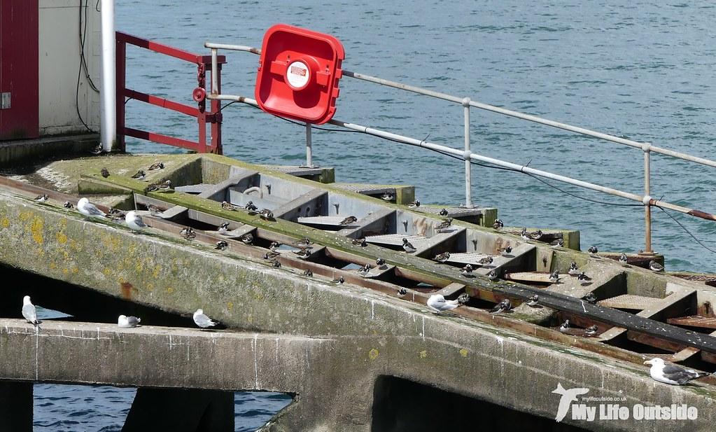 P1100650 - Turnstones, Mumbles Pier