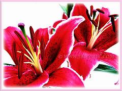 Captivating maroon flowers of Lilium 'Sunny Grenada', 21 June 2013