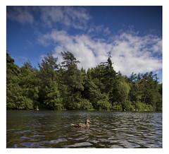 Female mallard duck, Lake Awosting, Minnewaska State Park Preserve, New Paltz, New York