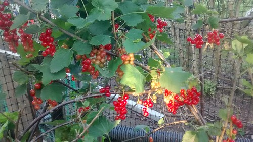 redcurrants July 17 2