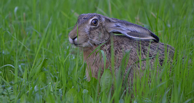 - I see you! 🐇 European hare near my home, on the field. Wildlife in Finland. Summer. Animal.