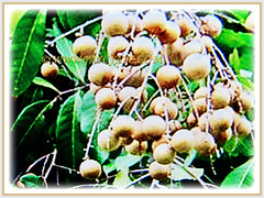 Dimocarpus longan's (Longan, Lungan, Dragon's Eye, Mata Kuching in Malay) drooping cluster of lovely fruits, 23 July 2017