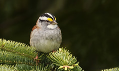 Bruant à gorge blanche \ Whithe-throated Sparrow