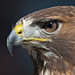 Red-tailed hawk by pe_ha45