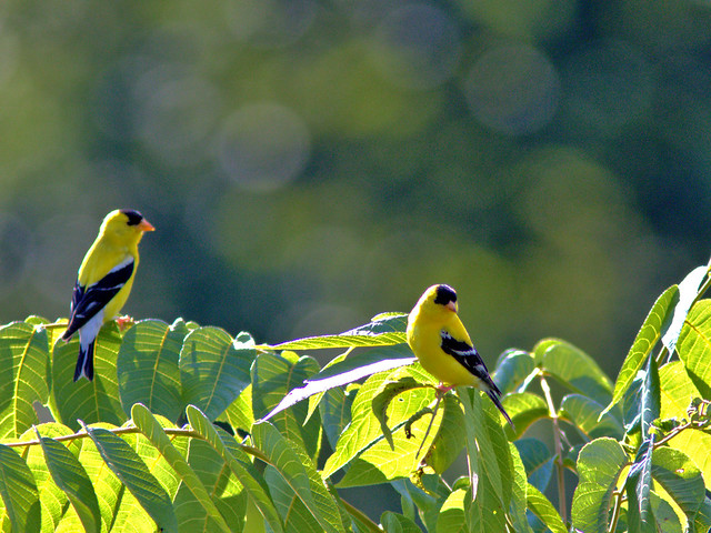 American Goldfinches 01-20170728