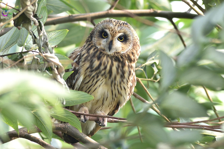 Short-eared_Owl_4033