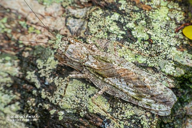Bark mantis (Theopompa tosta) - DSC_7716