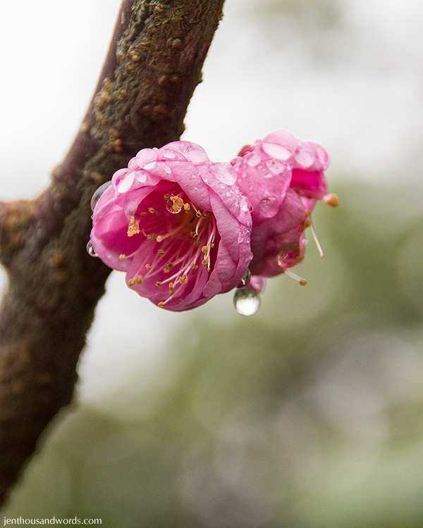 Blossoms after the rain 03