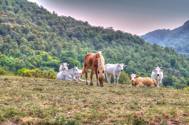 * Umbria : mucche libere insieme ai cavalli *  free cows together with horses *