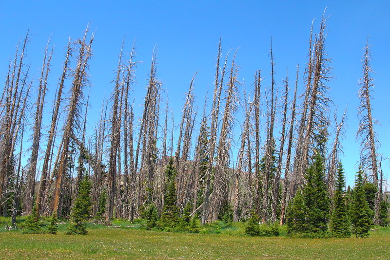 IMG_6270 Dead Engelmann Spruce by Bark Beetles