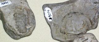 Eurypterids (fossil sea scorpions) (probably Silurian; South Bass Island, Lake Erie, Ohio, USA) 2
