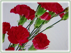 Bunch of Dianthus caryophyllus (Carnation, Border Carnation, Clove Pink) flowers in red, 18 July 2017