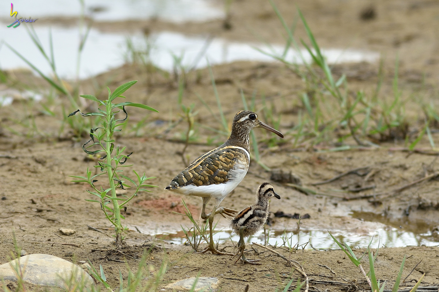 Painted_Snipe_1082