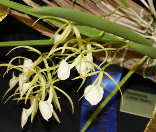 brassavola_little_stars