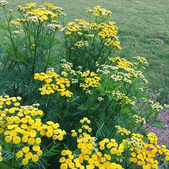 Tansy blooming like crazy now... @vtcrafttours you want some?