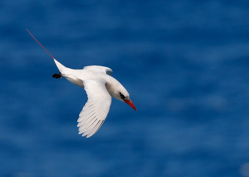 redtailedtropicbird tropicbird redtailed phaethon rubricauda phaethonrubricauda kilaueapoint kilaueapointnwr kilauea kilauealighthouse kauai hawaii seabird bird bif birdinflight wildlife nature pacificocean blue water ocean