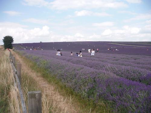 Main Field, Hitchin Lavender (Cadwell Farm)
