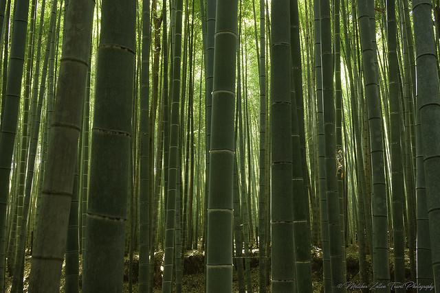 Bamboo... Sagano Walk, Arashiyama, Sony NEX-7, Sony E 16-70mm F4 ZA OSS