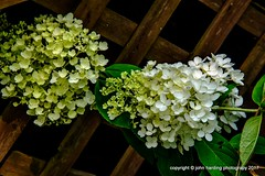 PG Hydrangea Blooms