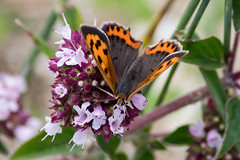 Small Copper - Photo of Perrières