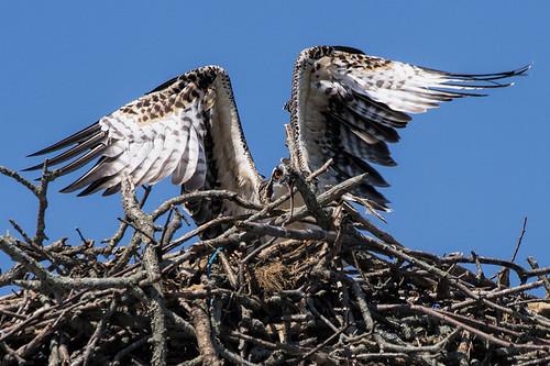 ny.southampton.osprey