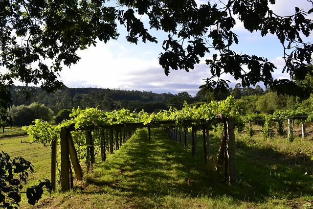 As viñas do Terrón