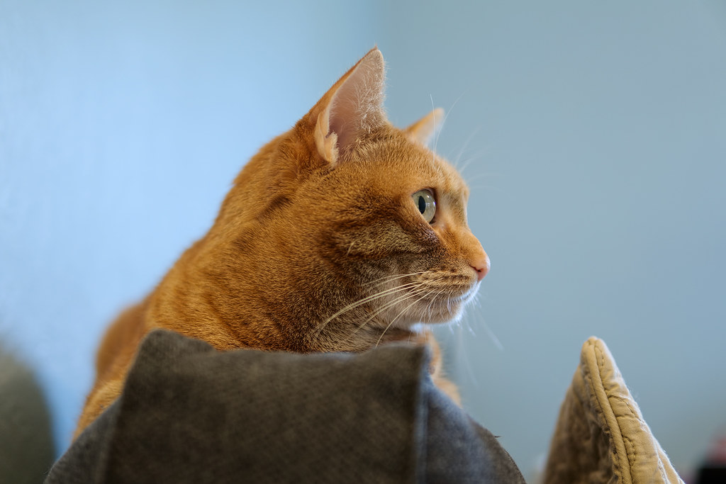 A close-up of our cat Sam, an orange tabby