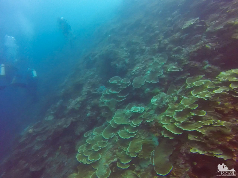 Ear and Plate Corals