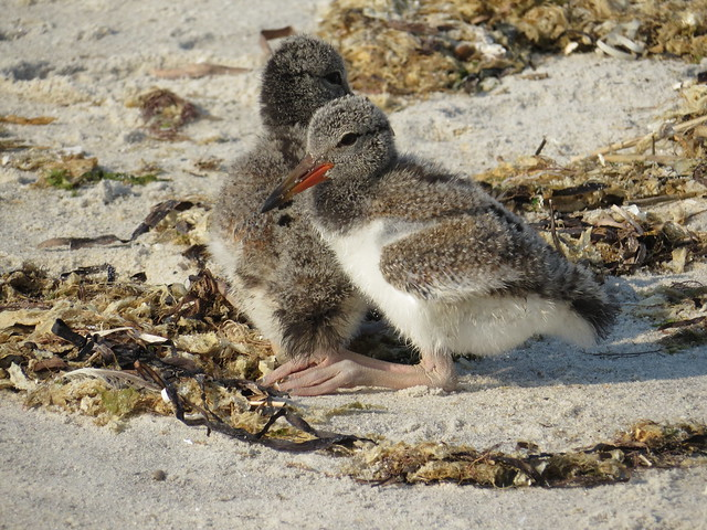 Baby American Oystercatchers