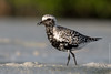 Chorlo Gris - Black-bellied Plover