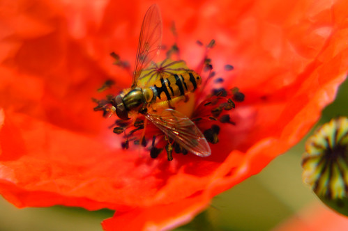 Male marmalade hoverfly on poppy