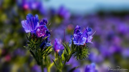 Viper's bugloss, Summer colors