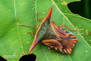 Giant shield bug (Pygoplatys lancifer) - DSC_7044