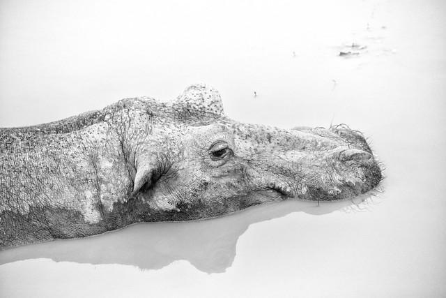 Ngorongoro Crater Hippo