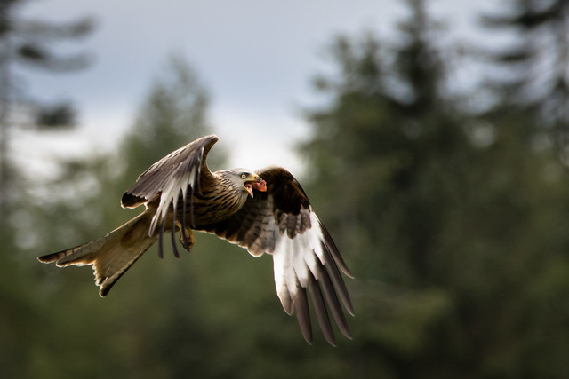 Red Kite, Canon EOS 7D MARK II, Sigma 150-600mm f/5-6.3 DG OS HSM   C