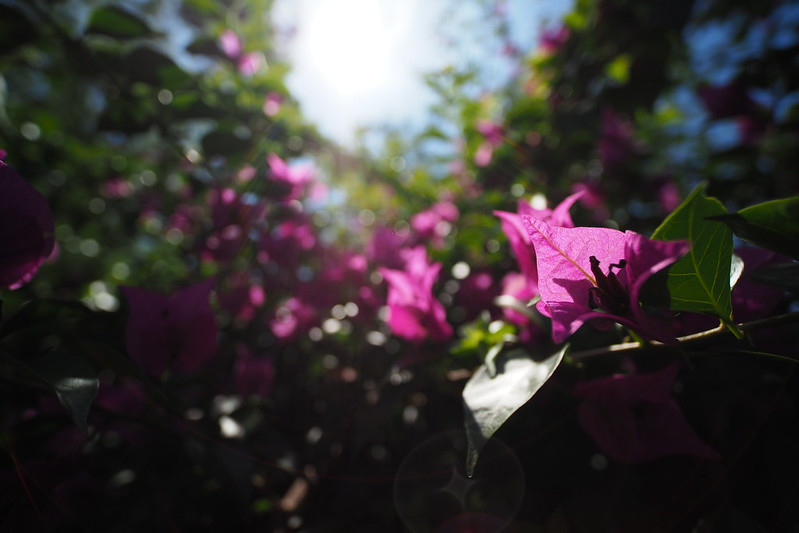 Flowers|Laowa 7.5mm f/2.0