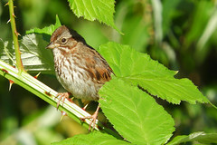 Song Sparrow (Rusty Form) 6-11-17 Port of Vancouver-Old Lower River Road