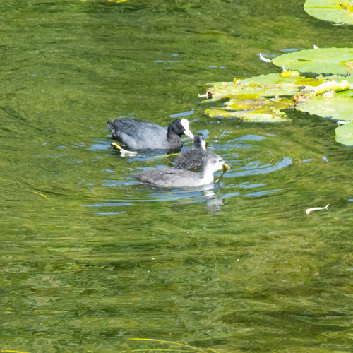 Coots on river