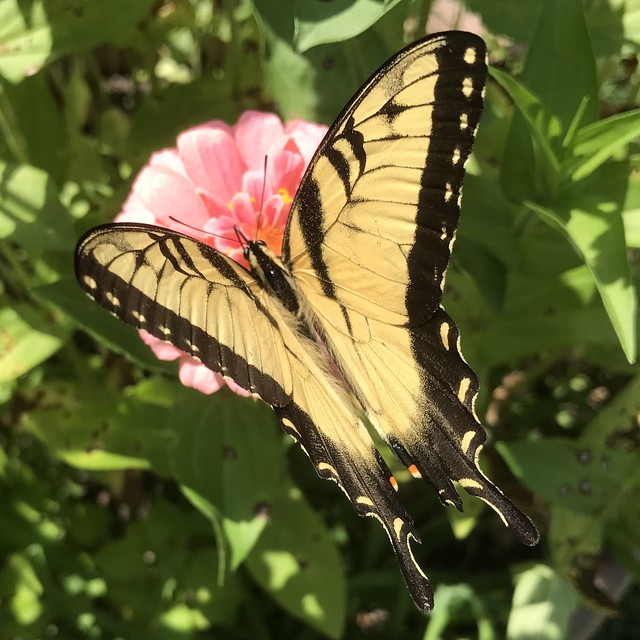 Male Eastern Tiger Swallowtail Butterfly