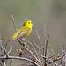 American Yellow Warbler (Setophaga aestiva)